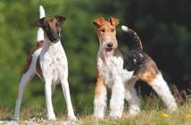 Terrier da tutta Europa: a luglio il raduno a Susans di Majano